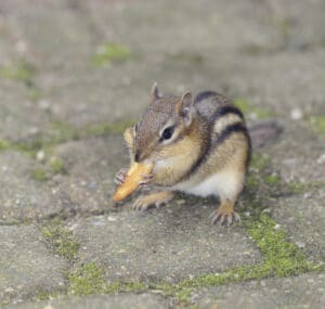 Prevent Chipmunks