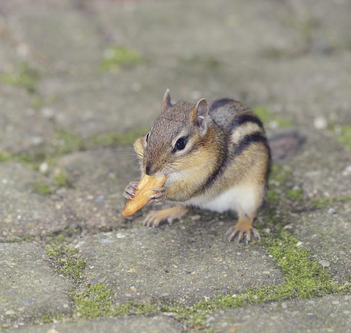 Prevent Chipmunks