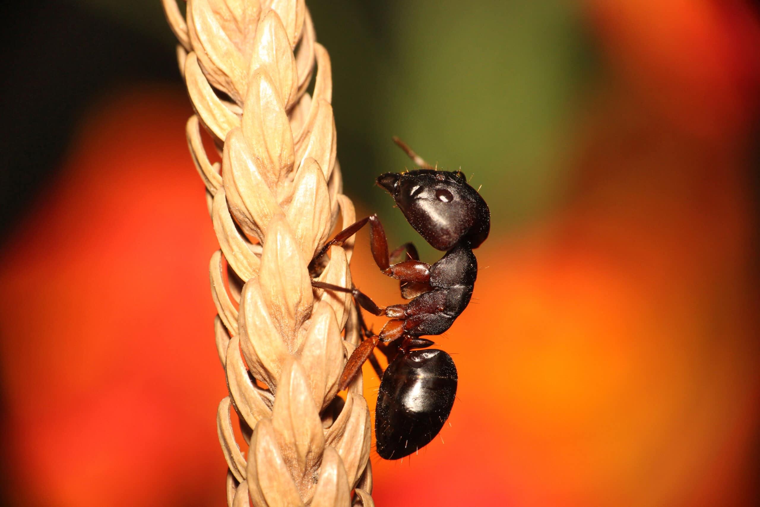 Carpenter ant pest control Toledo Bowling Green Sandusky