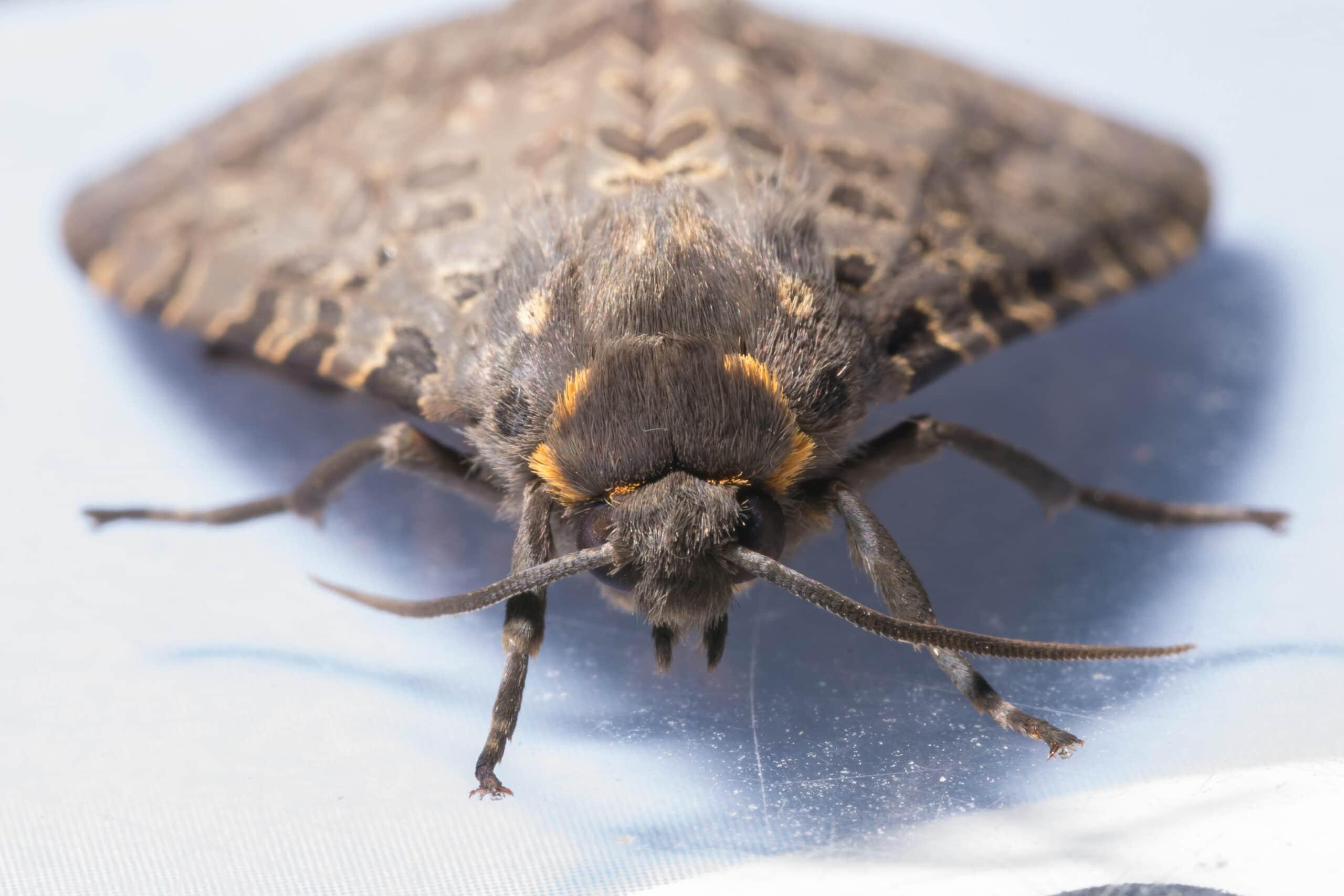Moth removal Toledo, Bowling Green Sandusky