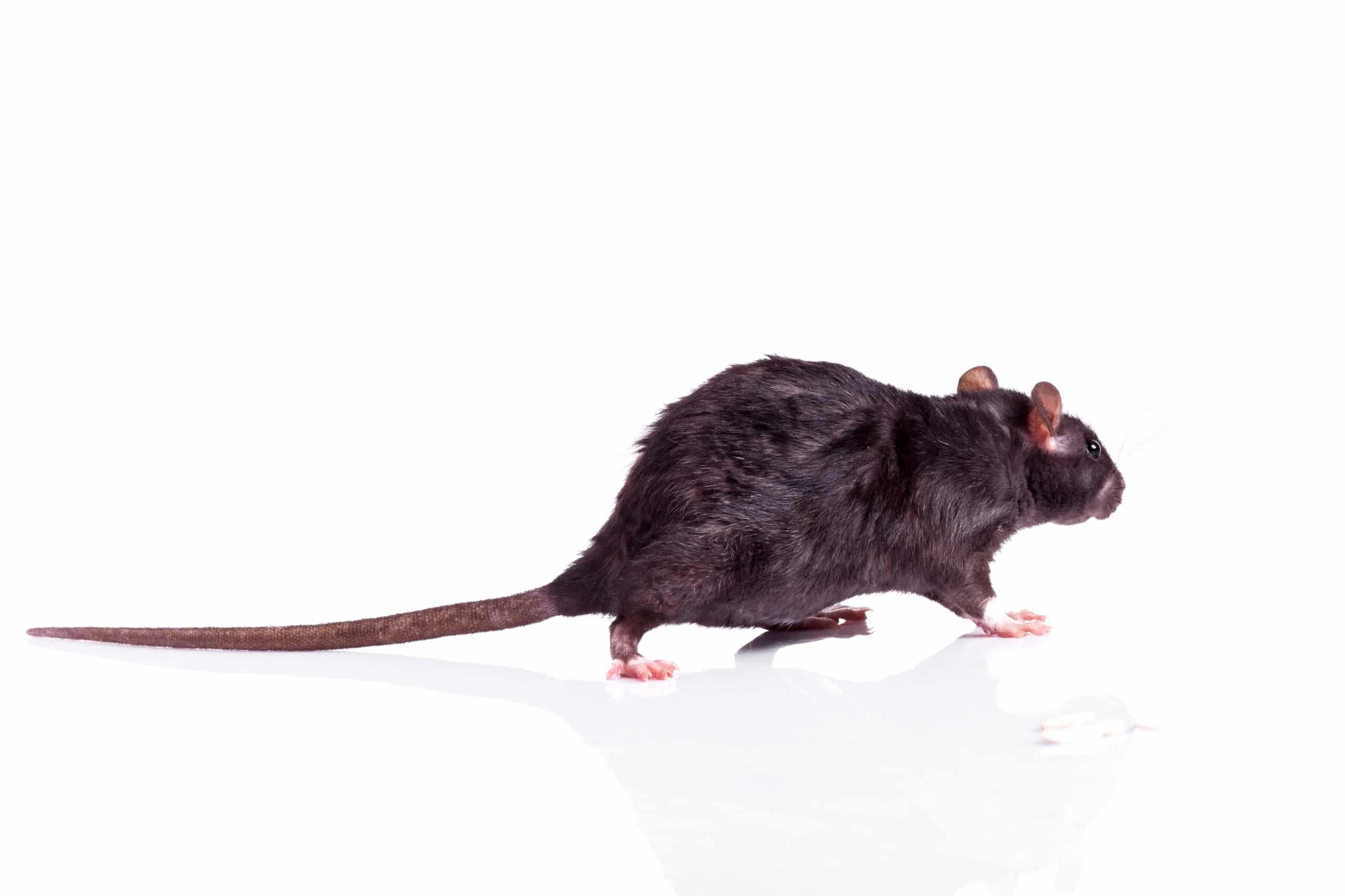 Rat Exterminator Toledo, Bowing Green, Sandusky Ohio