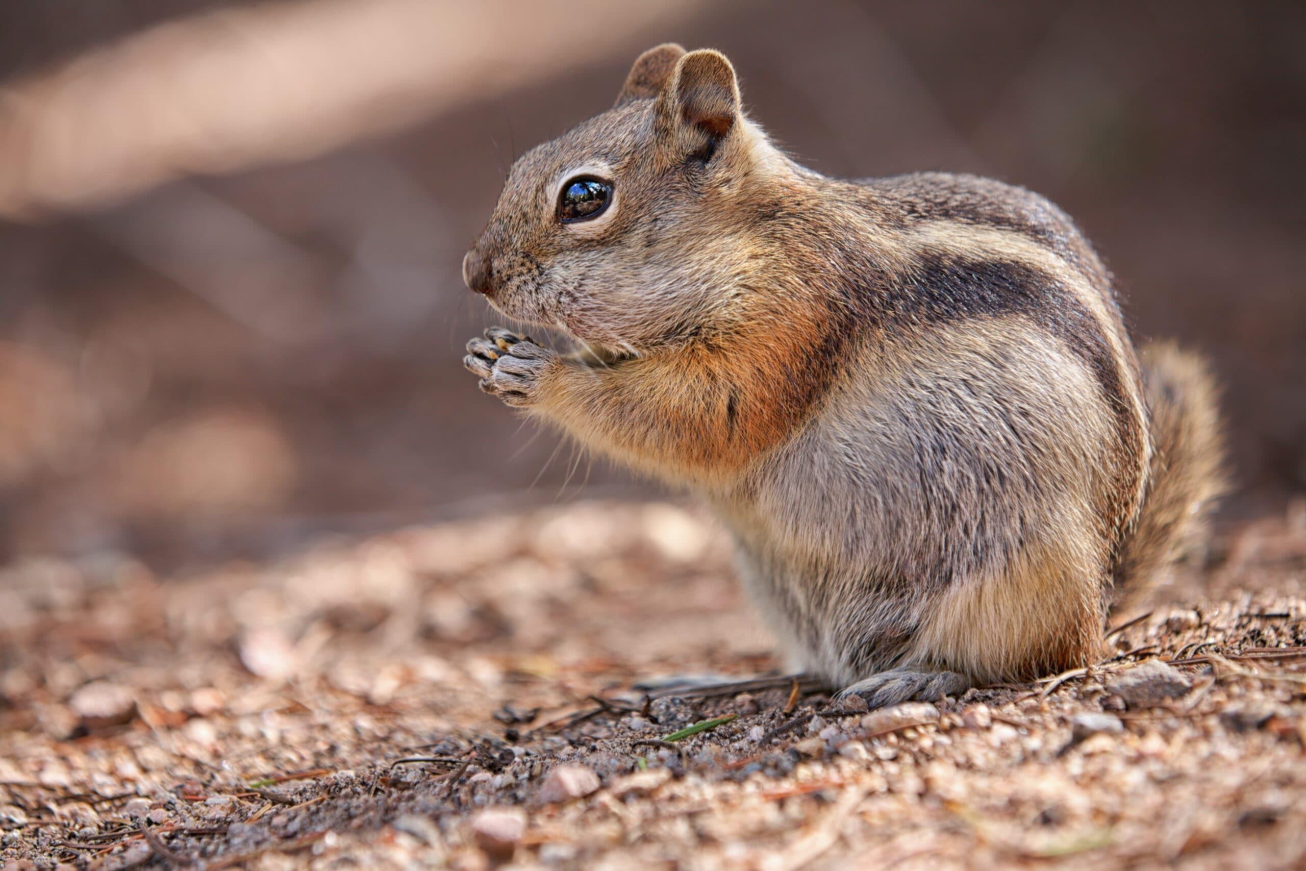 Chipmunk Exterminator Toledo, Bowling Green, Sandusky Ohio