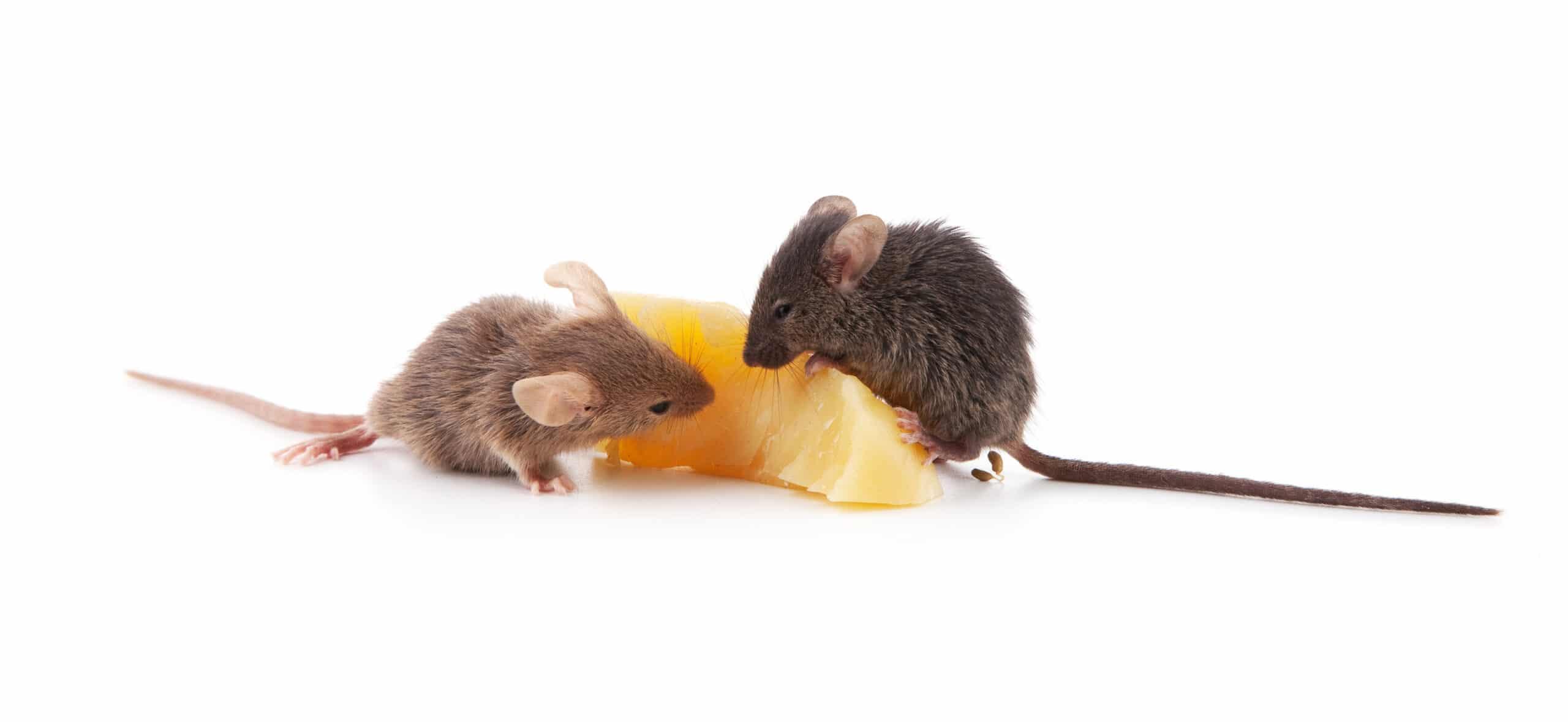 Mice Exterminator Bowling Green, Toledo, Sandusky Ohio